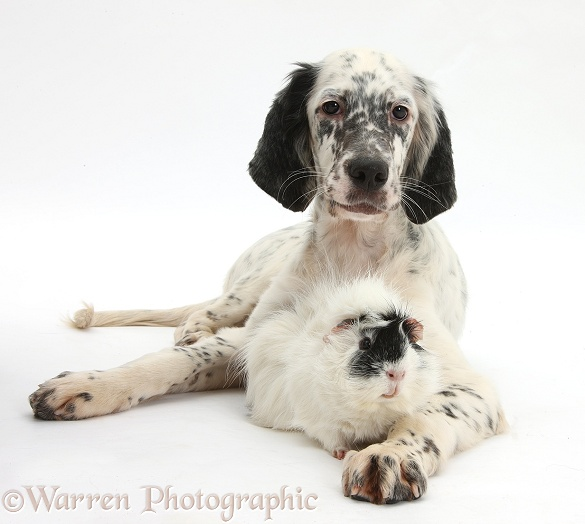 Blue Belton English Setter pup, Belle, 16 weeks old, with black-and-white Guinea pig, white background