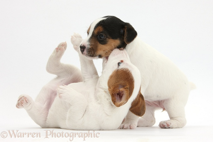 Two playful Jack Russell Terrier puppies, 4 weeks old, white background
