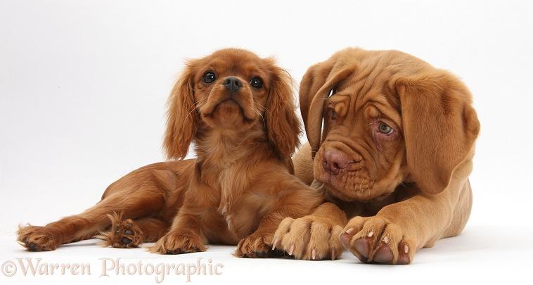 Dogue de Bordeaux pup and ruby Cavalier photo WP34310
