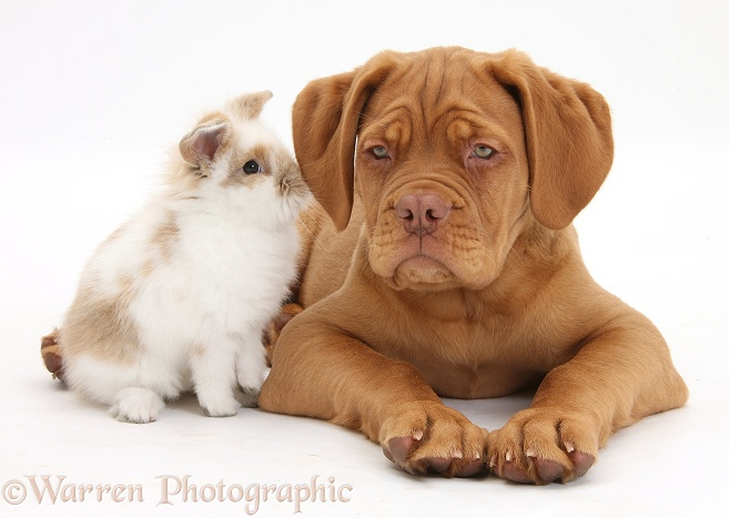Dogue de Bordeaux puppy, Freya, 10 weeks old, with young fluffy rabbit, white background
