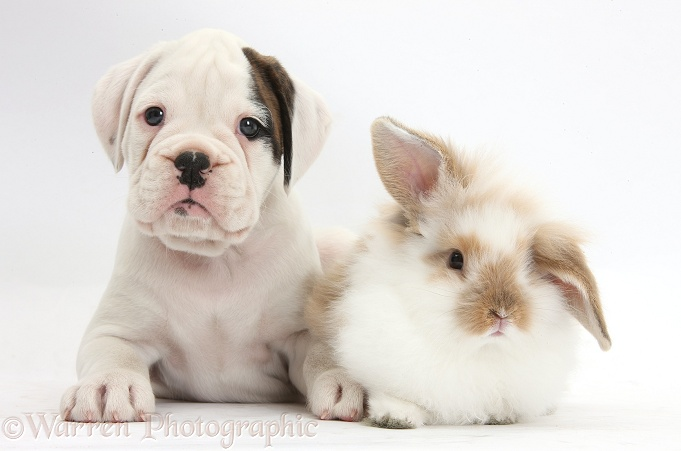 Boxer puppy and young fluffy rabbit, white background