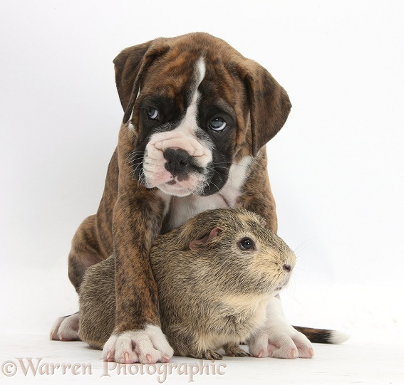 Boxer puppy and Guinea pig, white background