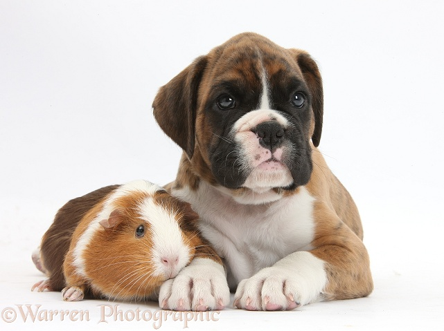 Pets Boxer Puppy And Guinea Pig Photo Wp34321