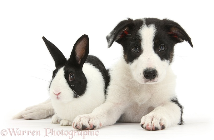 Black-and-white Border Collie pup and Dutch rabbit, white background