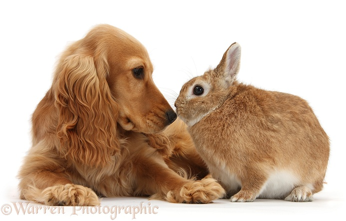 Golden Cocker Spaniel, Sadie, 6 months old, nose to nose with sandy Netherland-cross rabbit, Peter, white background