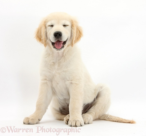 Golden Retriever dog pup, Oscar, 3 months old, sitting with smiley face and eyes shut, white background