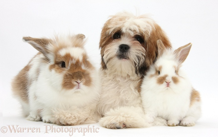 Maltese x Shih-tzu pup, Leo, 13 weeks old, with sandy-and-white rabbits, white background