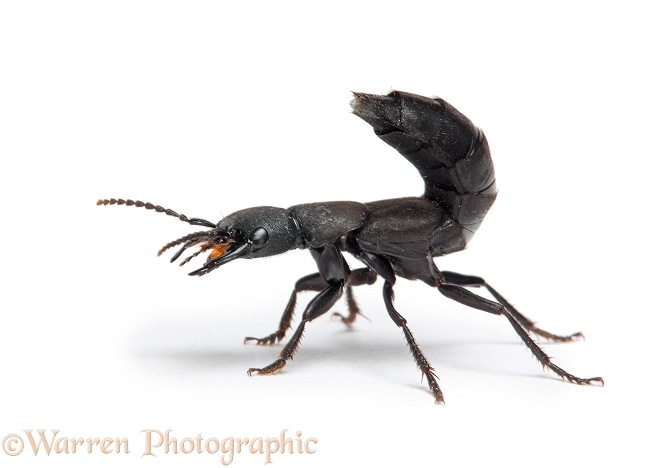 Devil's Coach-horse Beetle (Staphylinus olens) in defensive posture, white background
