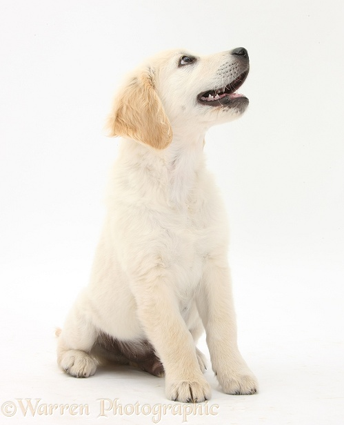 Golden Retriever dog pup, Oscar, 3 months old, sitting and looking up, white background
