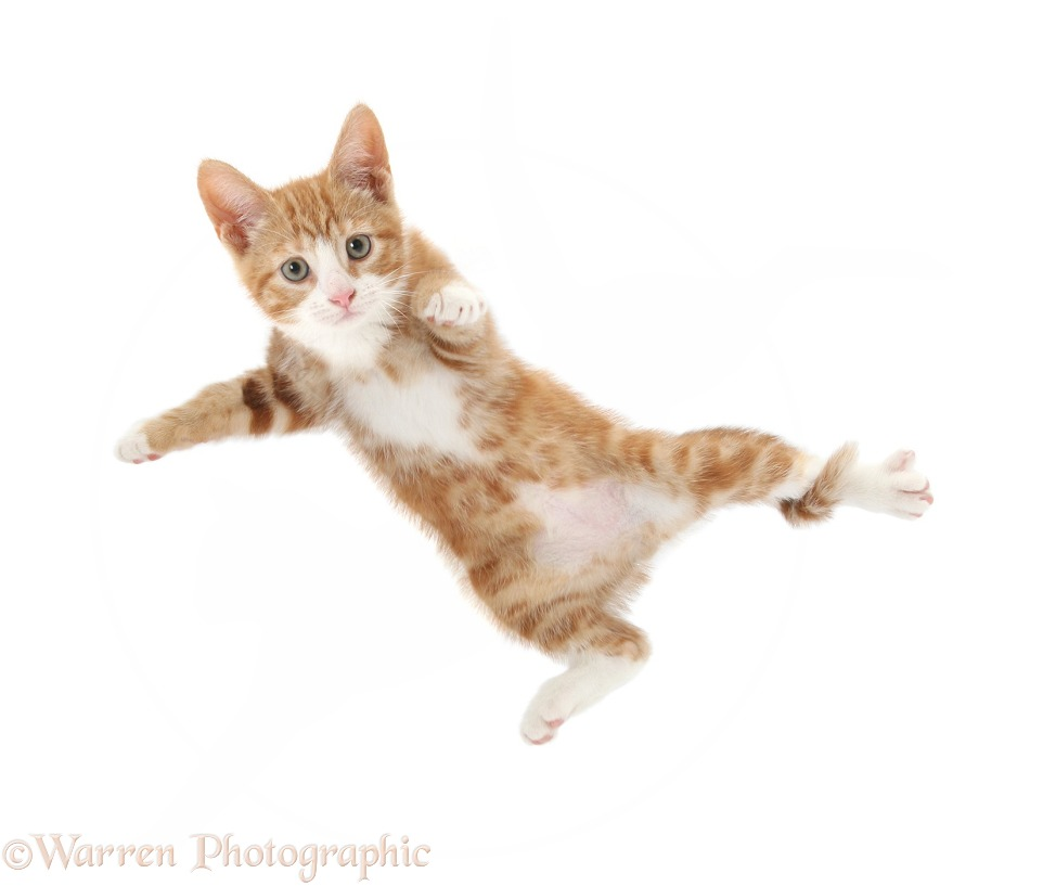Ginger kitten, Ollie, 10 weeks old, taking a flying leap, white background