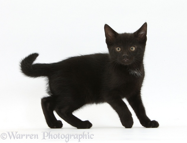 Black male kitten, Buxie, 8 weeks old, white background
