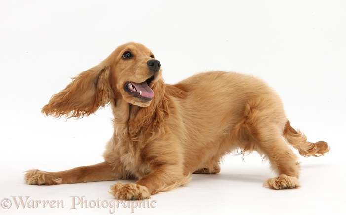 Playful Golden Cocker Spaniel, Sadie, 6 months old, white background