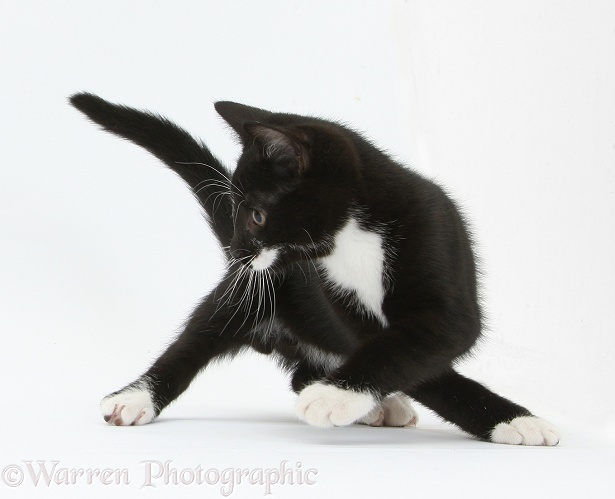 Black-and-white tuxedo kitten, Tuxie, 10 weeks old, turning energetically, white background