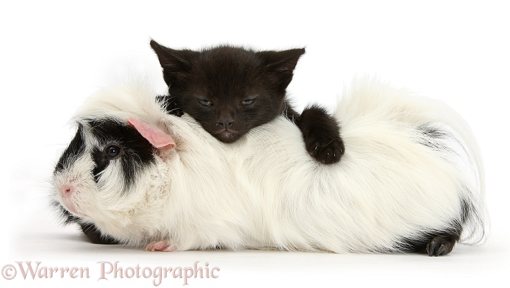 Black kitten, 8 weeks old, lying on Black-and-white Guinea pig, white background