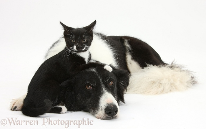 Black-and-white Border Collie bitch, Phoebe, with black-and-white tuxedo kitten, Tuxie, 10 weeks old, white background