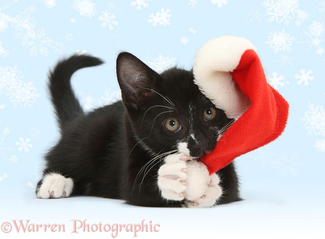 Black-and-white tuxedo kitten, Tuxie, 10 weeks old, clawing the bobble of his Father Christmas hat, white background