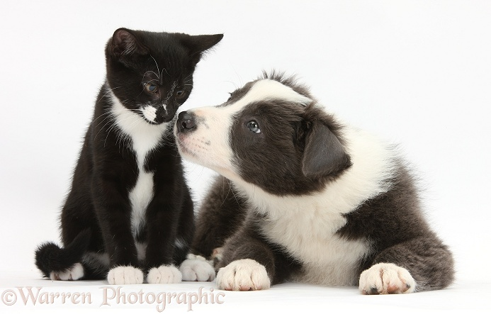 Blue-and-white Border Collie pup and black-and-white tuxedo kitten, Tuxie, 11 weeks old, white background