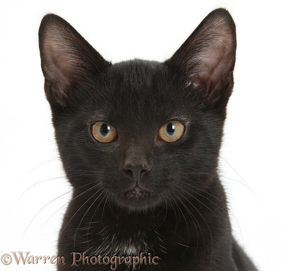 Black male kitten, Buxie, 3 months old, white background