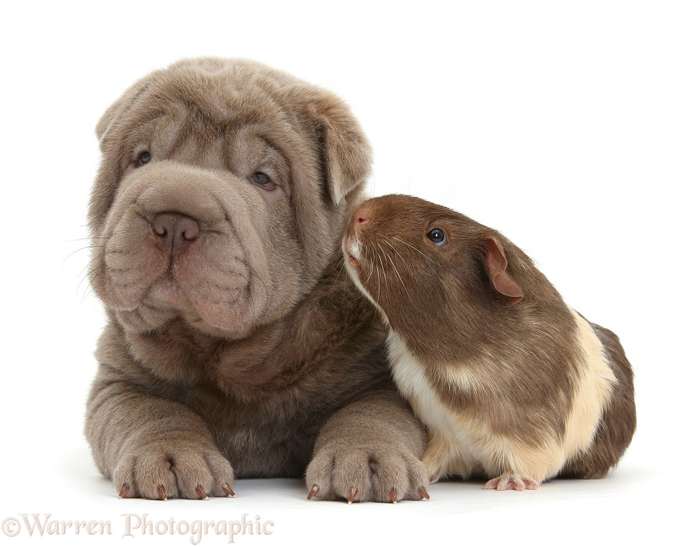 Shar Pei pup and Guinea pig, white background