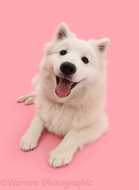 White Japanese Spitz dog, Sushi, 6 months old, on pink background