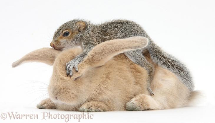 Young Grey Squirrel and sandy rabbit, white background