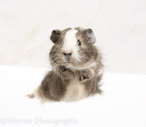 Guinea pig 'leaping', white background
