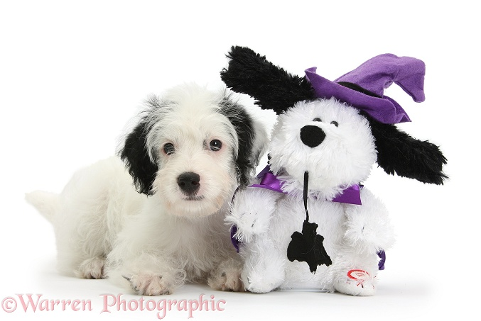 Jack-a-poo (Poodle x Jack Russell Terrier) bitch pup, Pukka, 10 weeks old, with matching Halloween toy dog, white background
