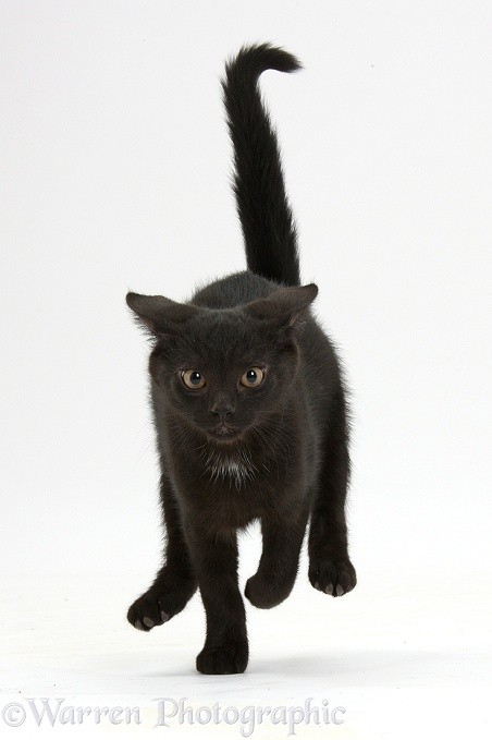 Black male kitten, Buxie, 12 weeks old, running forward, white background