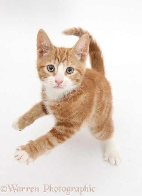 Ginger kitten, Ollie, 10 weeks old, standing up and reaching with one paw, white background