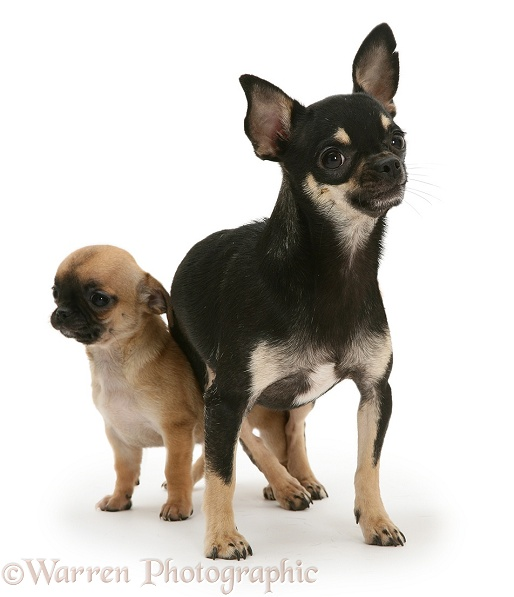 Black-and-tan Chihuahua bitch with sable-and-black pup, white background
