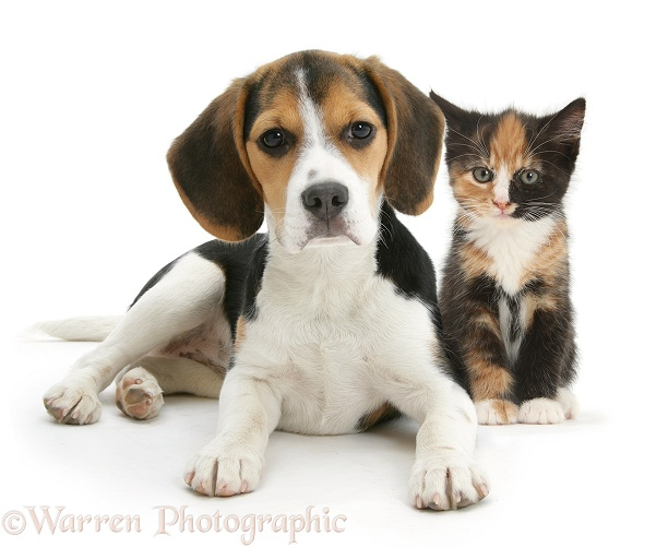 Beagle pup, Florrie, 4 months old, with tortoiseshell kitten, white background