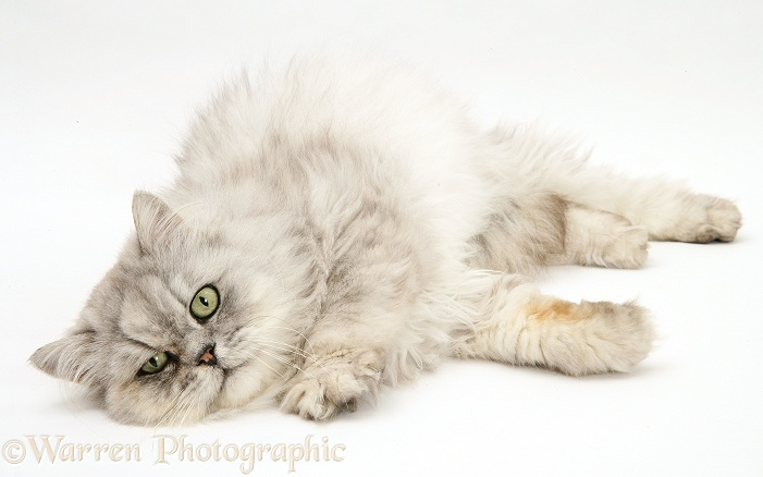 Chinchilla Persian male cat