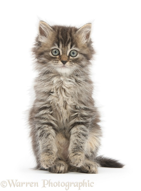 Tabby kitten, Beebee, 10 weeks old, white background