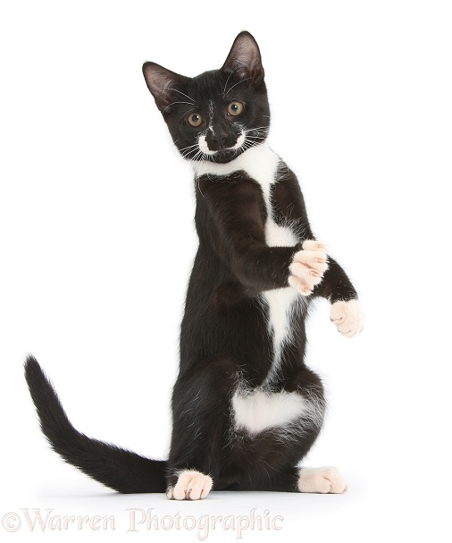 Black-and-white tuxedo male kitten, Tuxie, 3 months old, standing up on haunches, with paws raised as if warming up for a boxing match, white background