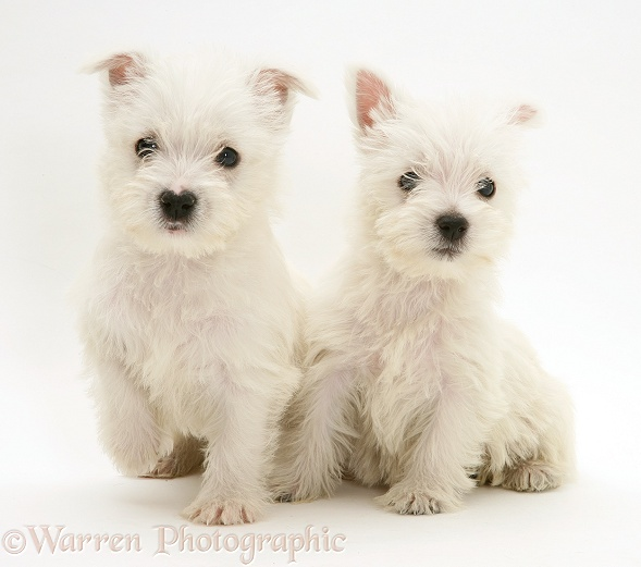 West Highland White Terrier pups, white background