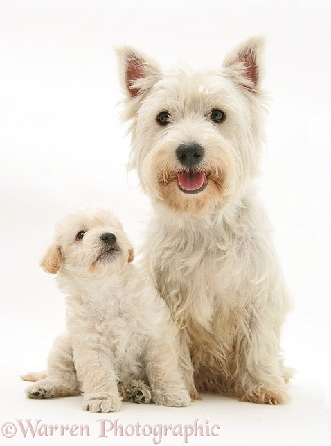 West Highland White Terrier and Woodle (West Highland White Terrier x Poodle) pup, white background