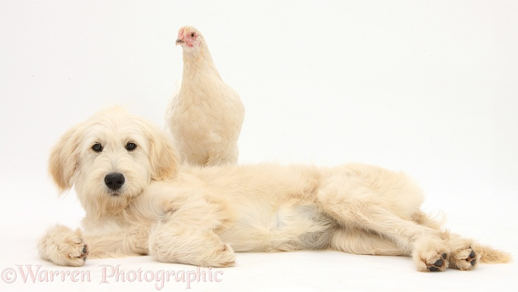 Goldendoodle bitch, Jasmine, 6 months old, and white chicken, white background