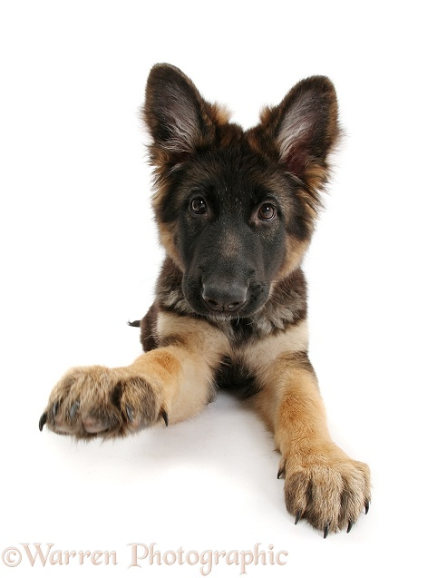German Shepherd Dog bitch pup, Coco, 14 weeks old, with raised paw, white background