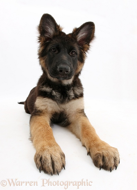 German Shepherd Dog bitch pup, Coco, 14 weeks old, white background