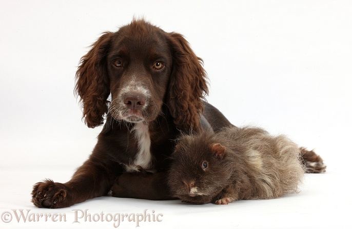 Chocolate Cocker Spaniel pup, Jeff, 4 months old, with shaggy Guinea pig, white background