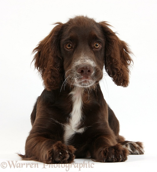 Chocolate Cocker Spaniel pup, Jeff, 4 months old, lying with head up, white background