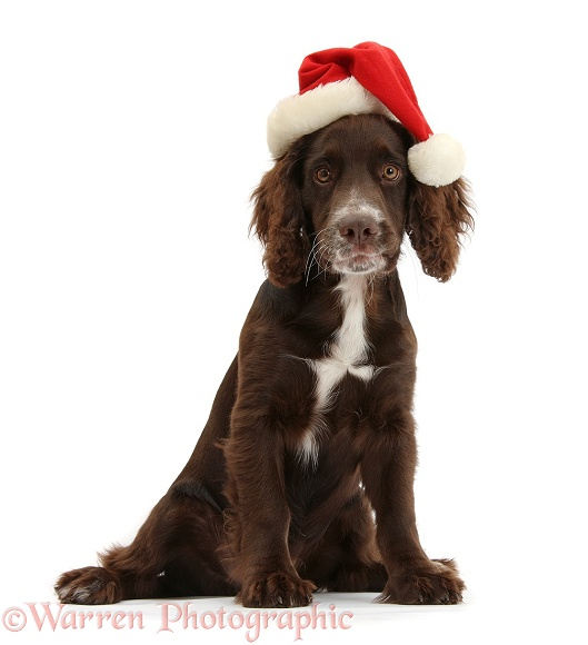 Chocolate Cocker Spaniel pup, Jeff, 4 months old, wearing a father Christmas hat, white background