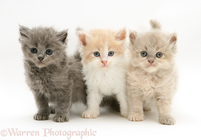 ... Blue, Ginger-and-white, and lilac Persian-cross Thomasina kittens