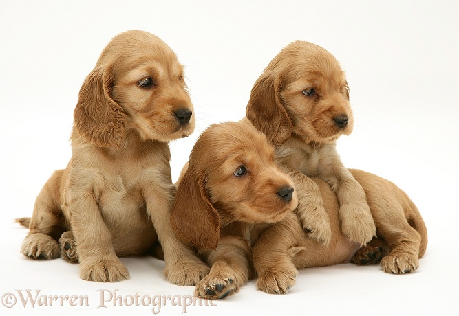 Three Golden Cocker Spaniel pups, white background