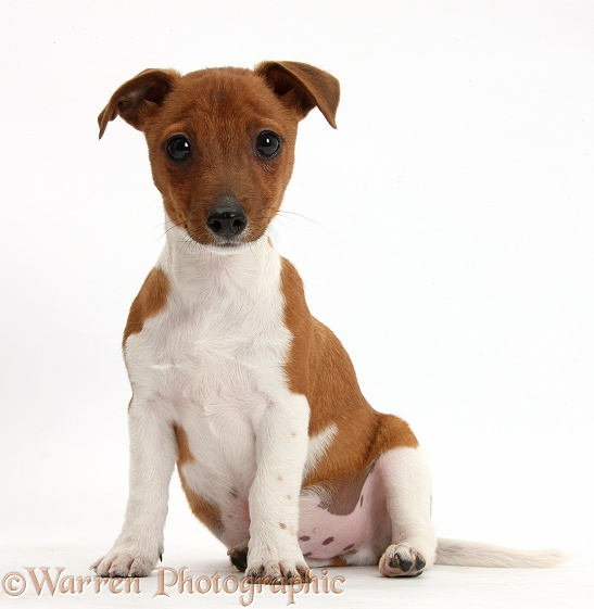 Jack Russell Terrier x Chihuahua pup, Nipper, sitting, white background