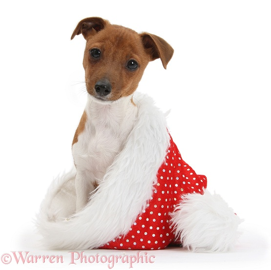Jack Russell Terrier x Chihuahua pup, Nipper, sitting in a Father Christmas hat, white background