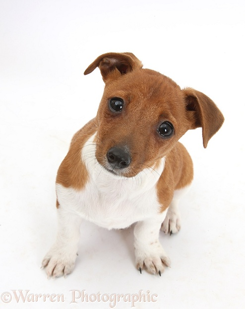Jack Russell Terrier x Chihuahua pup, Nipper, sitting and looking up, white background