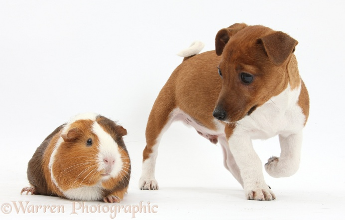 Jack Russell Terrier x Chihuahua pup, Nipper, with a Guinea pig, white background