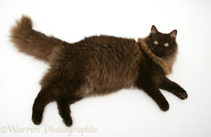 Fluffy dark chocolate Birman-cross cat, lying on its side and looking up, white background