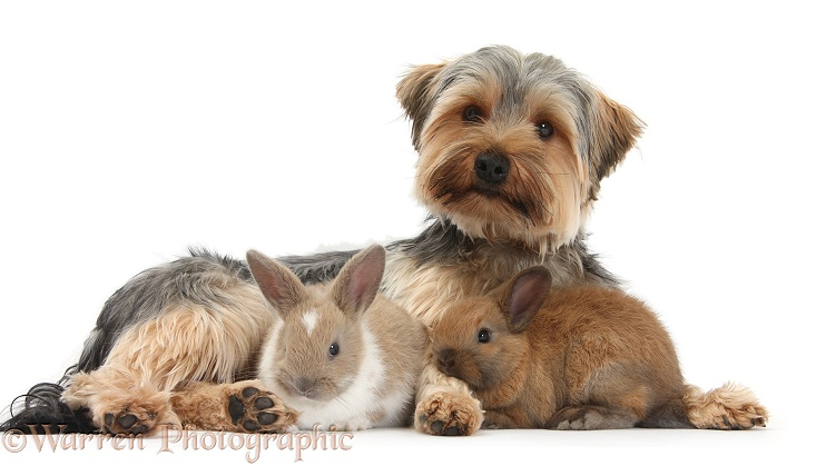 Yorkshire Terrier dog, Dillon, 16 months old, and baby rabbits, white background